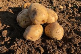 キタアカリ発祥農場のジャガイモ Mサイズ10㎏