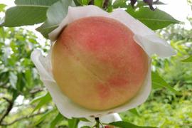 【8月末まで!!】無農薬栽培の「美味しい桃」 / 和歌山県産 / 大箱 (約11〜13個 / 約4kg)