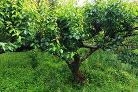 【期間限定】徳島県産 自然栽培の黃梅 / 七折 / 2L / 1kg