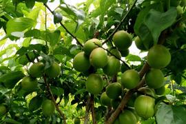 【期間限定】徳島県産 自然栽培の黃梅 / 南高 / 2L / 1kg