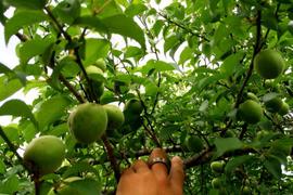 【期間限定】徳島県産 自然栽培の黃梅 / 七折/ 3L / 1kg