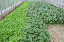 季節のセット*有機小松菜200g×25袋  有機水菜150g×10袋