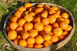 自然栽培(無農薬・無施肥) 金の蜜柑10kg 熊本産