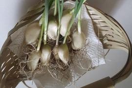 発芽ニンニク(20個) & 季節のお野菜1品目のセット