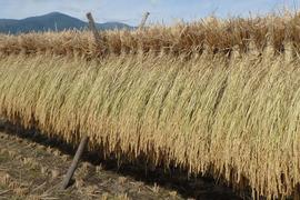 【29年産】八ヶ岳 山のカエル米 (玄米) 2kg