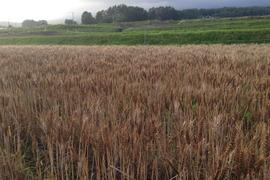 《八ヶ岳のオーガニック穀物》中力粉650g