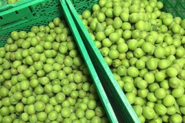 【期間限定】徳島県産 自然栽培の黃梅 / 南高 / 3L / 1kg