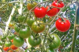 《7月〜9月末迄》元料理人が創る*ミニトマト(レット&オレンジ2kg)