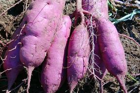 紫いも(パープルスイートロード) 2kg