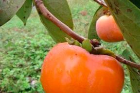 自然栽培の次郎柿 2.5kg