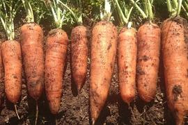 【特価】無農薬栽培ニンジン*3kg