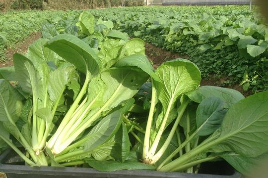 ≪露地栽培の力強さが特徴的≫小松菜 1kg