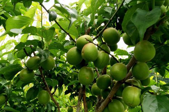 【期間限定】徳島県産 自然栽培の青梅 1kg