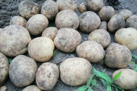 無肥料・無農薬栽培!甘みとコクのホクホクじゃが芋*デジマ(2kg)