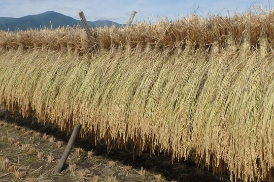 【29年産】八ヶ岳 山のカエル米 (玄米) 5kg
