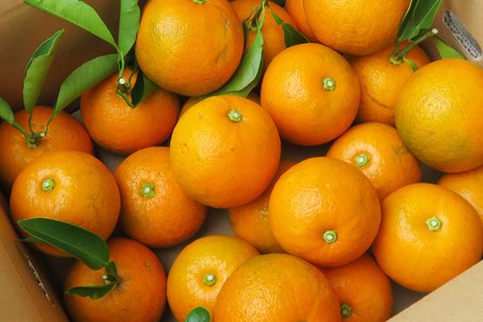 【光電子水利用】無農薬パワー橙(だいだい)5kg