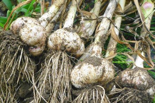 完全無農薬*ジューシィ!ジャンボニンニク1kg