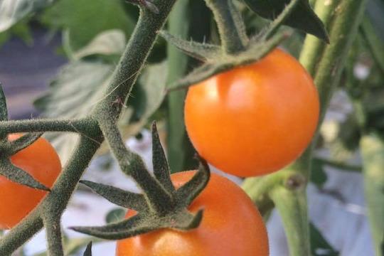 【期間限定☆】カラフルミニトマト(1kg)