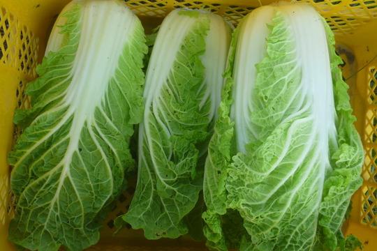 無農薬*ミニ白菜~8個(5kg位