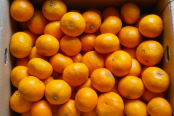【12月中旬販売予定!】さわやかな香りのお蜜柑「はれひめ」5kg