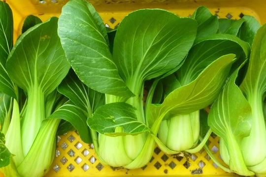 短期集中販売!完全無農薬*チンゲン菜3kg