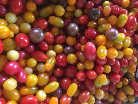 【期間限定7月〜9月末迄】自然栽培ミニトマト12種ミックス(1kg)